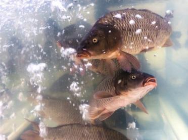 Żywe ryby w sprzedaży - o czym należy pamiętać?