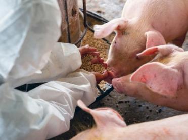Cynk - ważny składnik w żywieniu świń